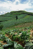 PHUTHAPBOEK PHETCHABUN: Μεγάλο αγρόκτημα λάχανων στο βουνό και SK Στοκ Εικόνες