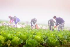 PHUTHAPBOEK PHETCHABUN TAILANDIA - 9 OTTOBRE: lavoro dell'agricoltore Fotografia Stock Libera da Diritti