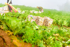 PHUTHAPBOEK PHETCHABUN TAILANDIA - 9 OTTOBRE: lavoro dell'agricoltore in Immagini Stock