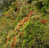 Phutukawa kwiaty, Jeziorny Rotoiti, NZ Fotografia Stock