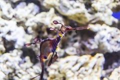 Phycodurus eques seahorse-Vod in koralen op het blauw marien leven als achtergrond onder water stock afbeeldingen