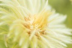 Phylica Pubescens florece en la floración en sol de la primavera fotos de archivo