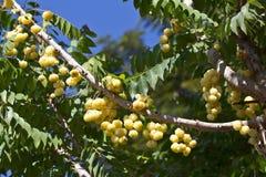 Phyllanthus acidus Stockfotografie