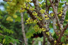 Phyllanthus acidus Stock Image
