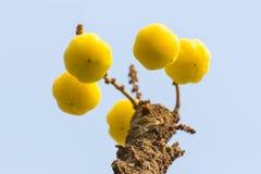 Phyllanthus acidus di Gosseberry della stella fotografia stock