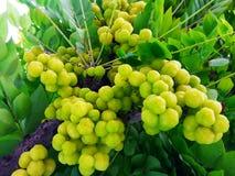 Phyllanthus acidus Skeels, gwiazdowy agrestowy drzewo Obraz Royalty Free