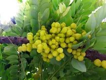Phyllanthus acidus Skeels, gwiazdowy agrestowy drzewo Zdjęcie Stock
