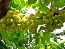 Phyllanthus acidus Skeels, gwiazdowy agrestowy drzewo Fotografia Stock