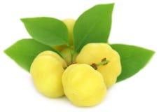 Phyllanthus acidus or Star gooseberry Stock Photos