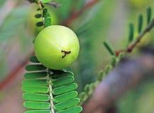 Phyllanthus Emblica, groseille à maquereau indienne Photos libres de droits