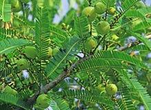 Phyllanthus Emblica, groseille à maquereau indienne Images libres de droits