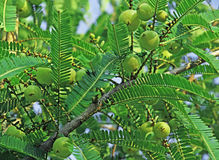 Phyllanthus Emblica, Indian Gooseberry Royalty Free Stock Images
