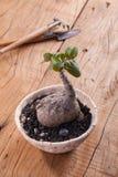 Phyllanthus Mirabilis Royalty Free Stock Image