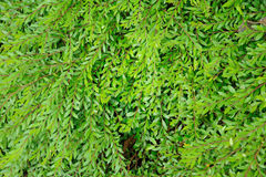 Phyllanthus myrtifolius Royalty Free Stock Photos