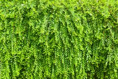 Phyllanthus myrtifolius Arkivfoto