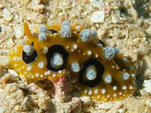 Phyllidia ocellata Stock Images