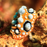 Phyllidia ocellata nudibranch Royalty Free Stock Photography