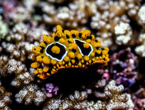 Phyllidia Ocellata sea slug Stock Photo