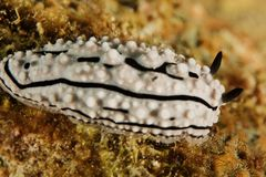 Phyllidiella zeylanica - Andaman Sea Royalty Free Stock Photo