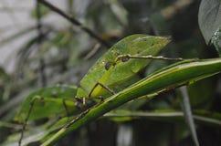 The green mantis Stock Photo
