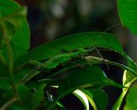 Phylliidae, leaf mantis Stock Photos