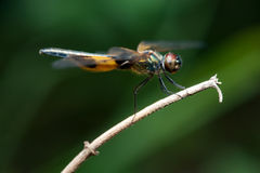 Phyllis amarelo-listrados masculinos de Rhyothemis da libélula do flutterer em um galho Fotografia de Stock