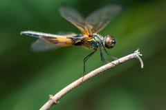 Phyllis amarelo-listrados masculinos de Rhyothemis da libélula do flutterer em um galho Imagens de Stock