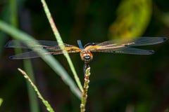 Phyllis amarelo-listrados masculinos de Rhyothemis da libélula do flutterer em um galho Fotos de Stock