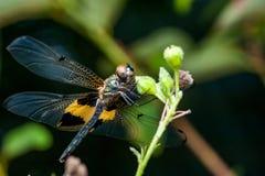 Phyllis amarelo-listrados masculinos de Rhyothemis da libélula do flutterer em um galho Imagens de Stock Royalty Free