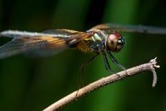 Phyllis amarelo-listrados masculinos de Rhyothemis da libélula do flutterer em um galho Fotografia de Stock Royalty Free