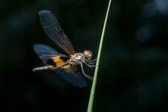 Phyllis amarelo-listrados masculinos de Rhyothemis da libélula do flutterer em um galho Foto de Stock Royalty Free