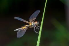 Phyllis amarelo-listrados masculinos de Rhyothemis da libélula do flutterer em um galho Imagem de Stock Royalty Free