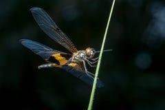 Phyllis amarelo-listrados masculinos de Rhyothemis da libélula do flutterer em um galho Fotos de Stock Royalty Free