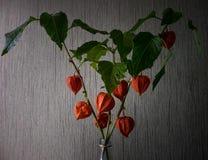 Phyllis blommor 1 livstid fortfarande arkivbilder