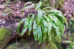 Phyllitisscolopendrium in zijn natuurlijke habitat Stock Afbeeldingen