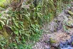 Phyllitisscolopendrium in zijn natuurlijke habitat Royalty-vrije Stock Afbeeldingen