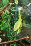 Phyllium Giganteum Στοκ φωτογραφίες με δικαίωμα ελεύθερης χρήσης