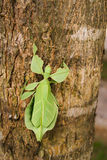 Phyllium giganteum, leaf insect royalty free stock photos