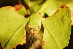 Phyllium giganteum stock image