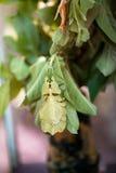 Phyllium Giganteum stock photography