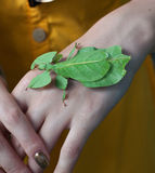 Leaf insect. Phyllium siccifolium. leaf insect walking leave, phyllidae, on the human hand Royalty Free Stock Photography