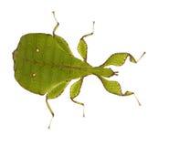 phyllium SP phylliidae φύλλων εντόμων Στοκ φωτογραφία με δικαίωμα ελεύθερης χρήσης