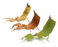 Phyllium Westwoodii, three stick insects. In front of white background Stock Images