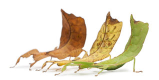 Phyllium Westwoodii, three stick insects stock image