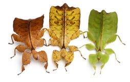 Phyllium Westwoodii, tres insectos de palillo Foto de archivo