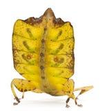 Phyllium Westwoodii, un insecto de palillo fotos de archivo libres de regalías