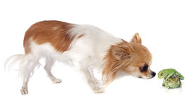 Phyllomedusa sauvagii and chihuahua. In front of white background Royalty Free Stock Images