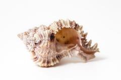 Phyllonotus Pomum Stock Photo