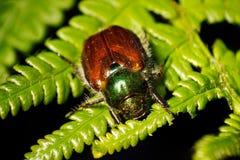 Phyllopertha horticola (beetle) Royalty Free Stock Image