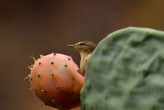 Phylloscopus bird on cactus Stock Photo